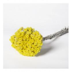 Miła Odmiana Helichrystum żółte/ szt.