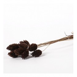 Miła Odmiana Phalaris brązowy - pęczek