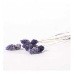 Miła Odmiana Phalaris fioletowy 3.0- pęczek