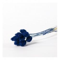 Miła Odmiana Phalaris niebieski 2.0- pęczek
