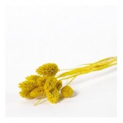 Miła Odmiana Phalaris żółty- pęczek