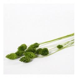 Miła Odmiana Phalaris zielony - pęczek