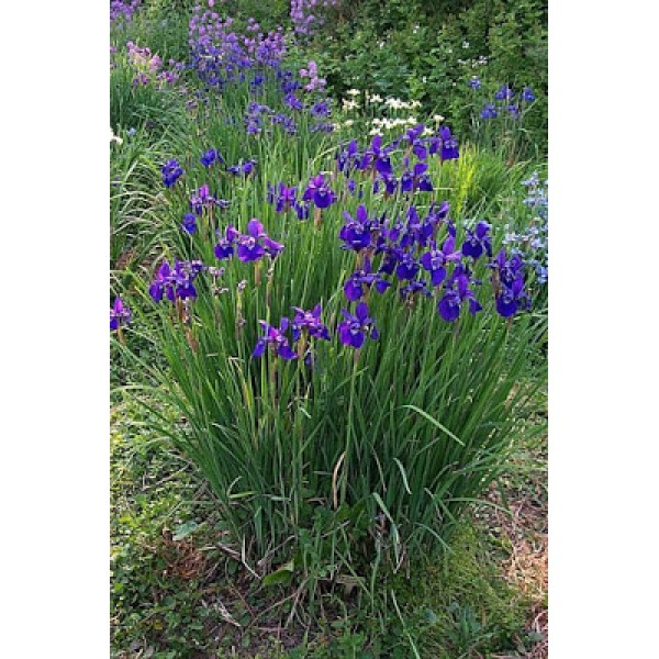 The idyllic house and garden IRYS KOSACIEC SIBERIAN Iris Sibirica Blue