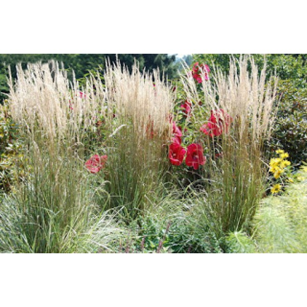 Idyllic House and Garden ACUTE RAWN Calamagrostis x acutiflora Overdam
